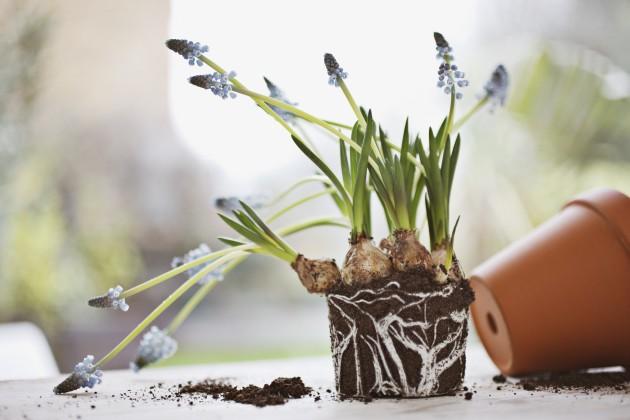 Guida per coltivare i bulbi