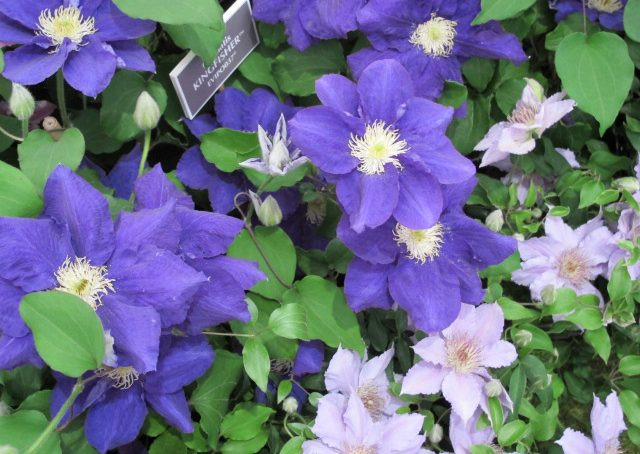 Clematis: colorate&robuste