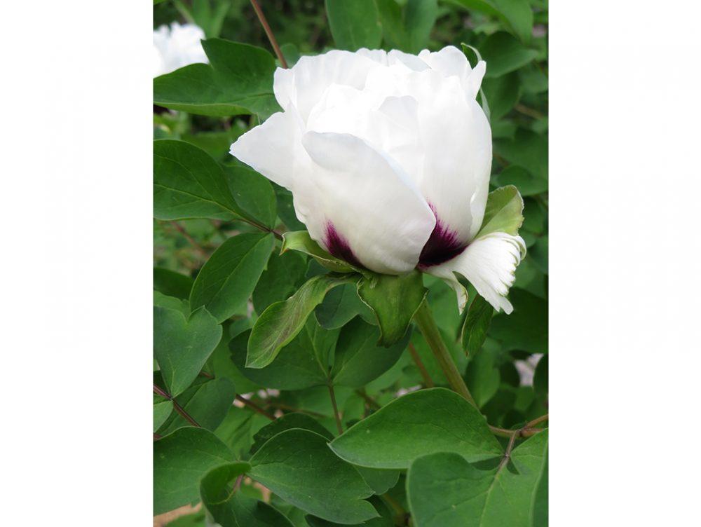 Coltivare le Peonie, fiori degli dei