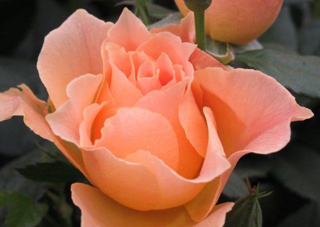 Coltivare le rose sul terrazzo o in giardino