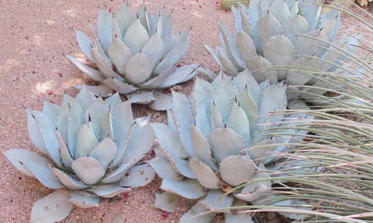 Piante grasse ai Giardini di Majorelle