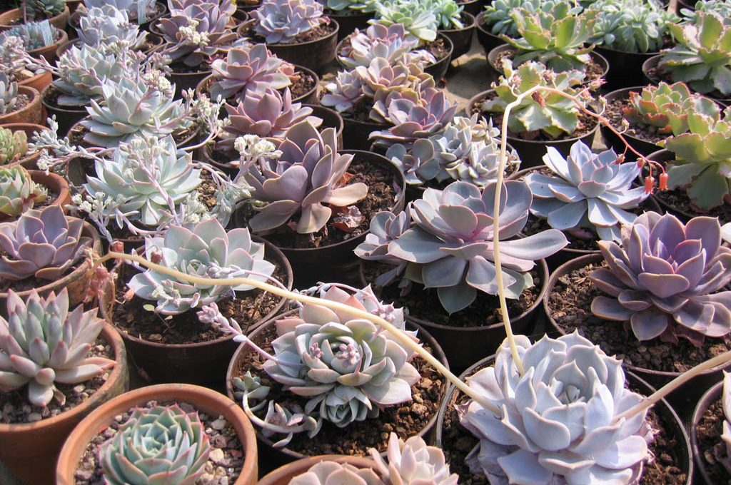 Estate come curare le piante grasse casafacile for Curare le piante