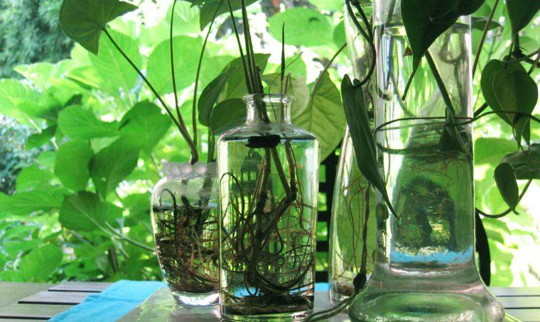 Giardinaggio, lavori d'estate: moltiplicare le piante in idrocoltura