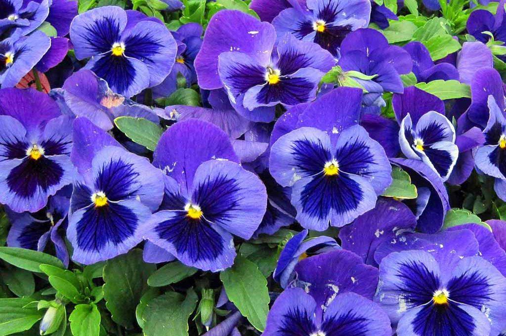 Piante Da Giardino Invernali : Pansè fiori invernali casafacile