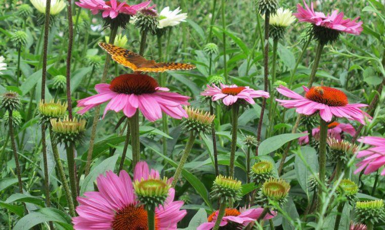 Come coltivare l'Echinacea