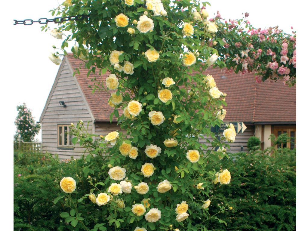 Rosa Rampicante In Vaso rose rampicanti - casafacile
