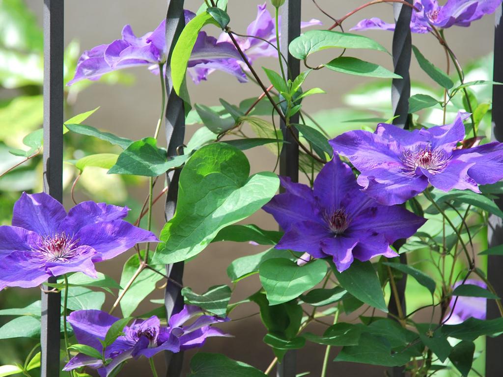 Rampicanti Che Crescono All Ombra esposizione a nord, quali piante usare? - casafacile
