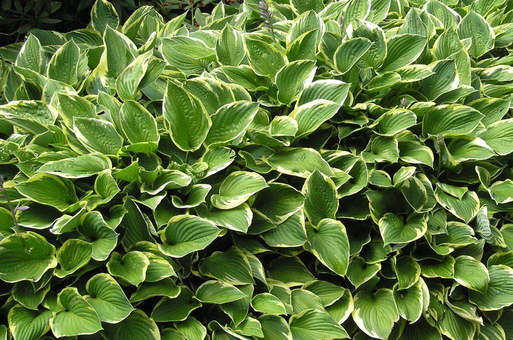 Esposizione a nord quali piante usare casafacile - Siepe di ulivo ...