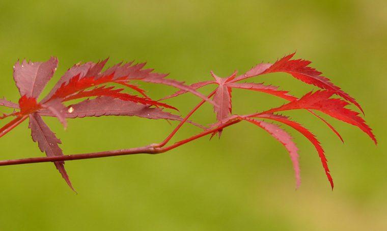 Acero giapponese: quando le foglie si arricciano