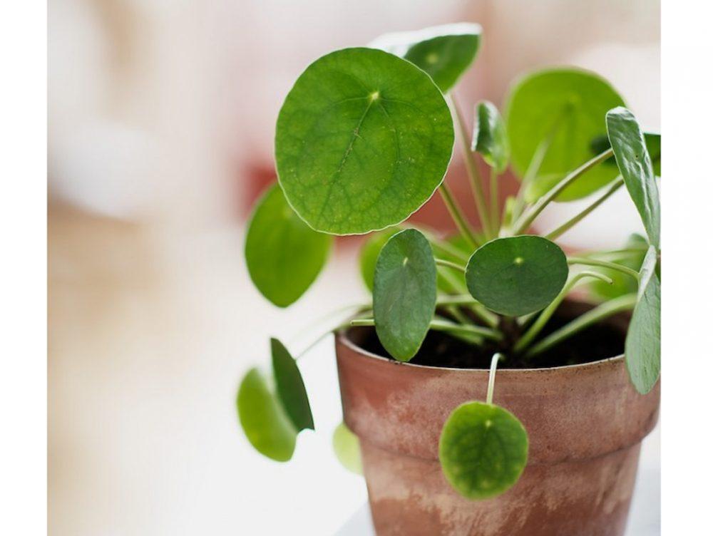 Scopri la Pilea Peperomoides, la pianta che fa impazzire Pinterest