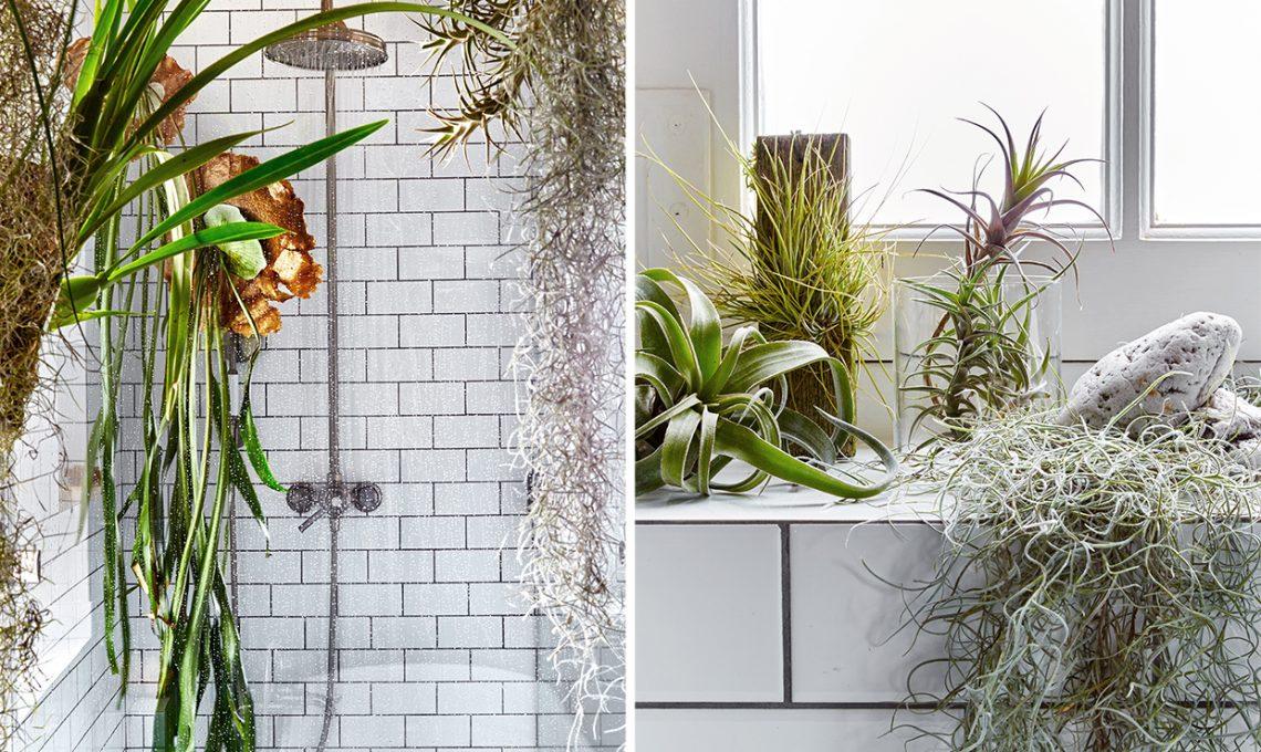 Le piante da mettere in bagno tillandsie e orchidee - Piante in bagno ...