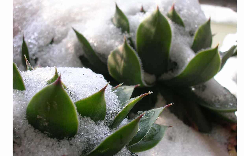 Sos piante grasse colpite dal gelo casafacile for Piante grasse da casa