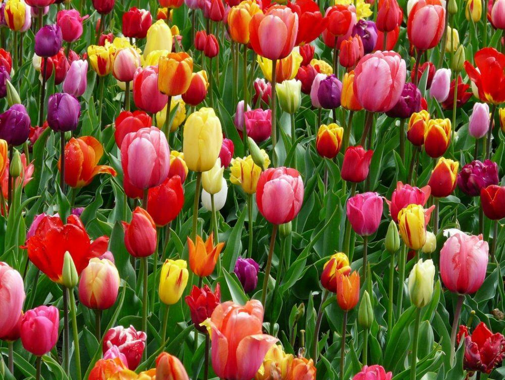 250 mila tulipani alle porte di Milano