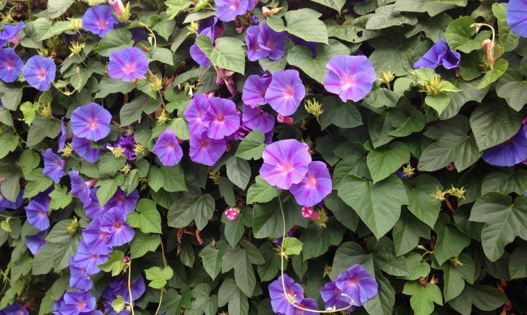 Rampicanti con i fiori