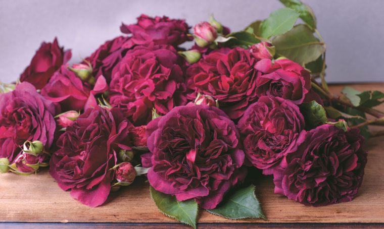 Come scegliere e coltivare le rose