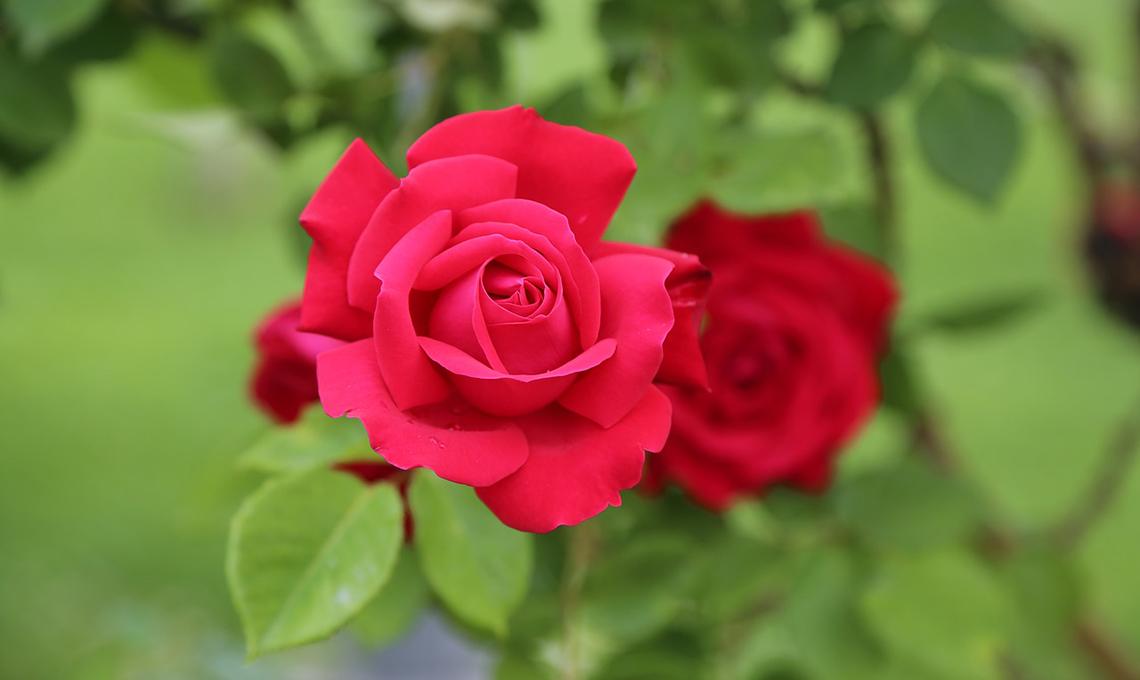 Maggio: il mese delle rose