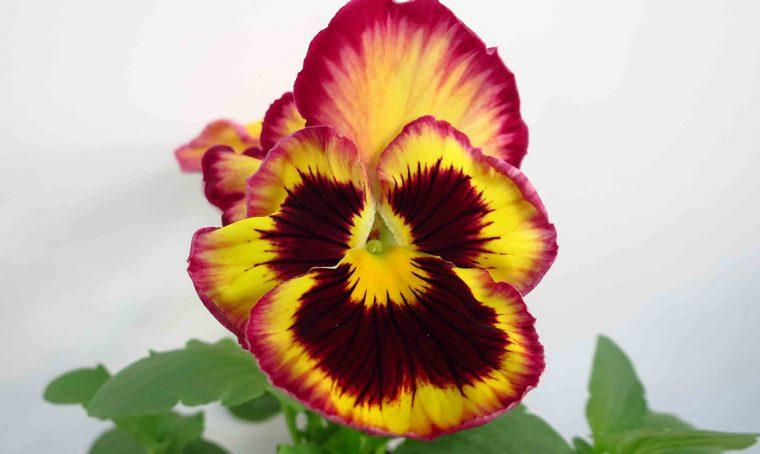 100 sfumature di… viole