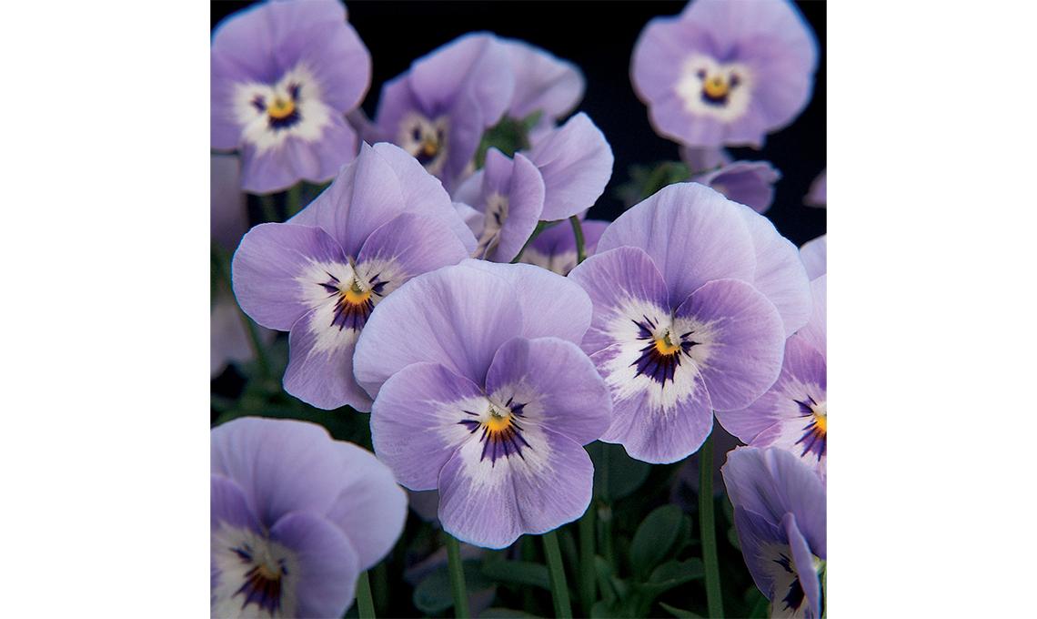 CasaFacile giardinaggio - viola cornuta marina, uno degli ultimi colori introdotti