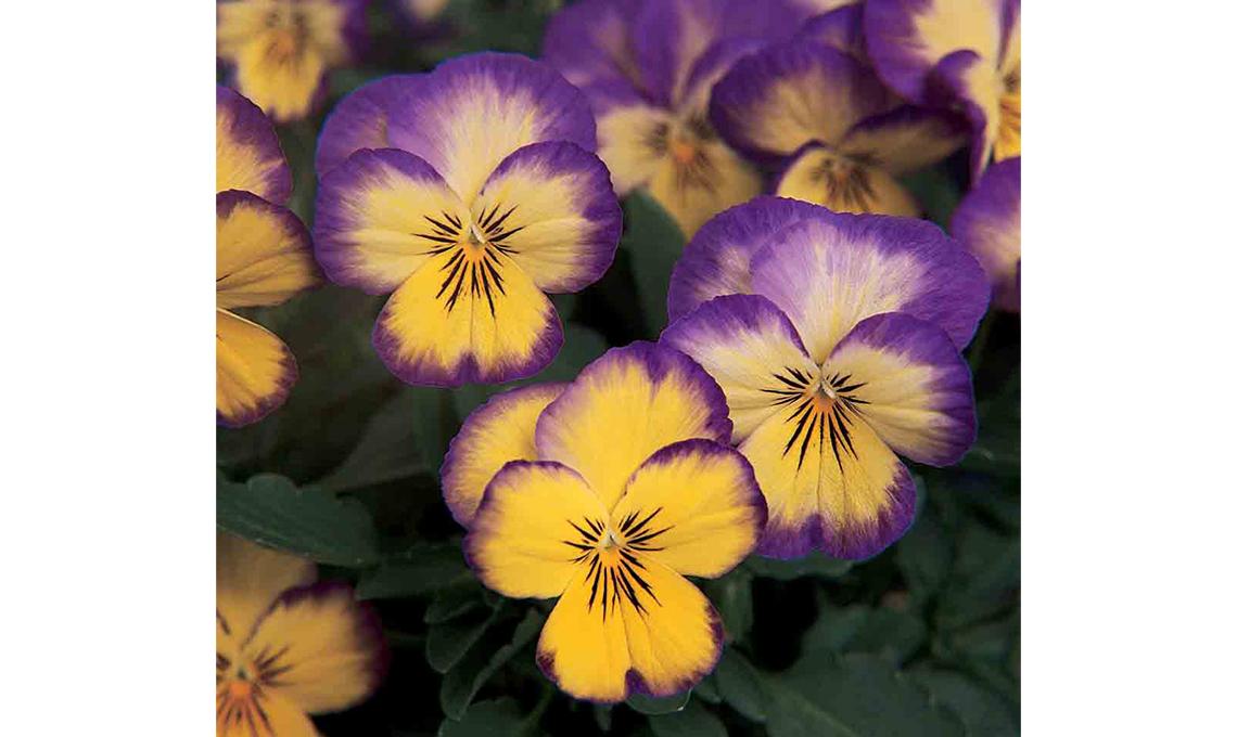 CasaFacile giardinaggio - viole Lemon Swirl