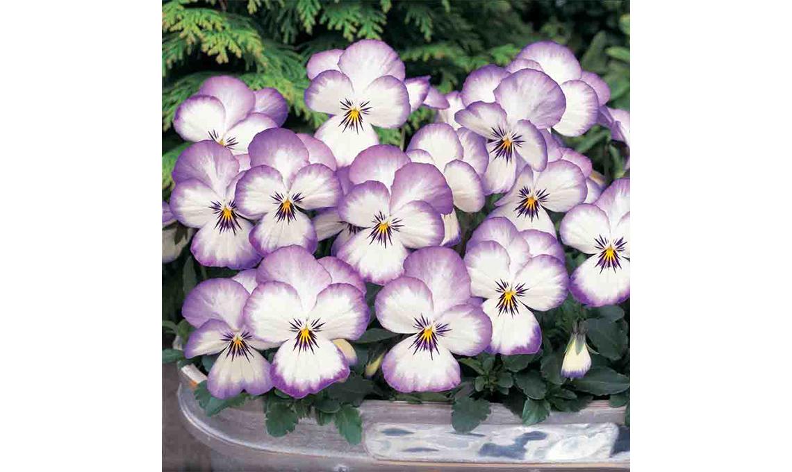 CasaFacile giardinaggio - viole