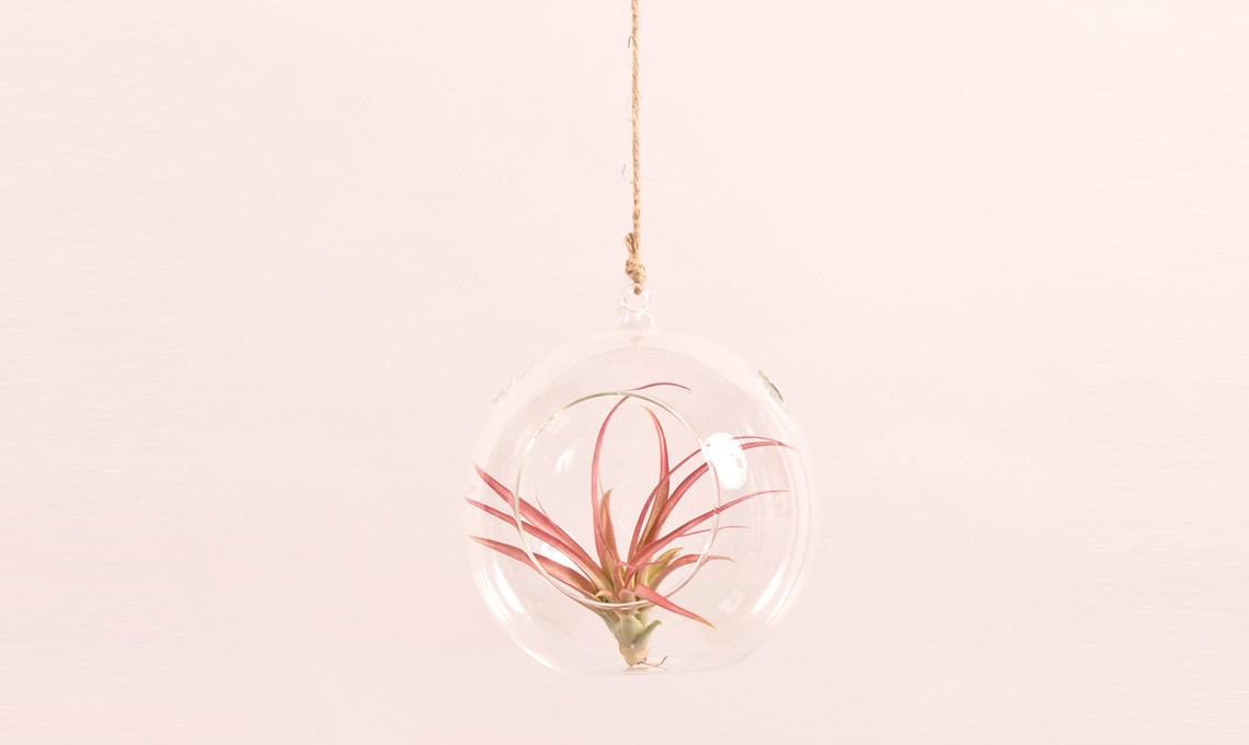 Tillandsia sospesa in una bolla di vetro / tillairplant.com