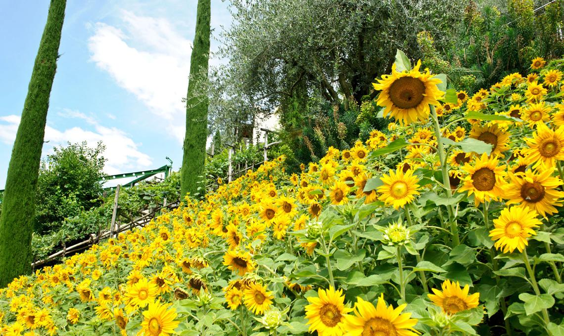 Girasoli nell'oliveto - Giardini di Castel Trauttmansdorff