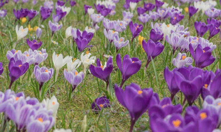 campo di fiori di zafferano