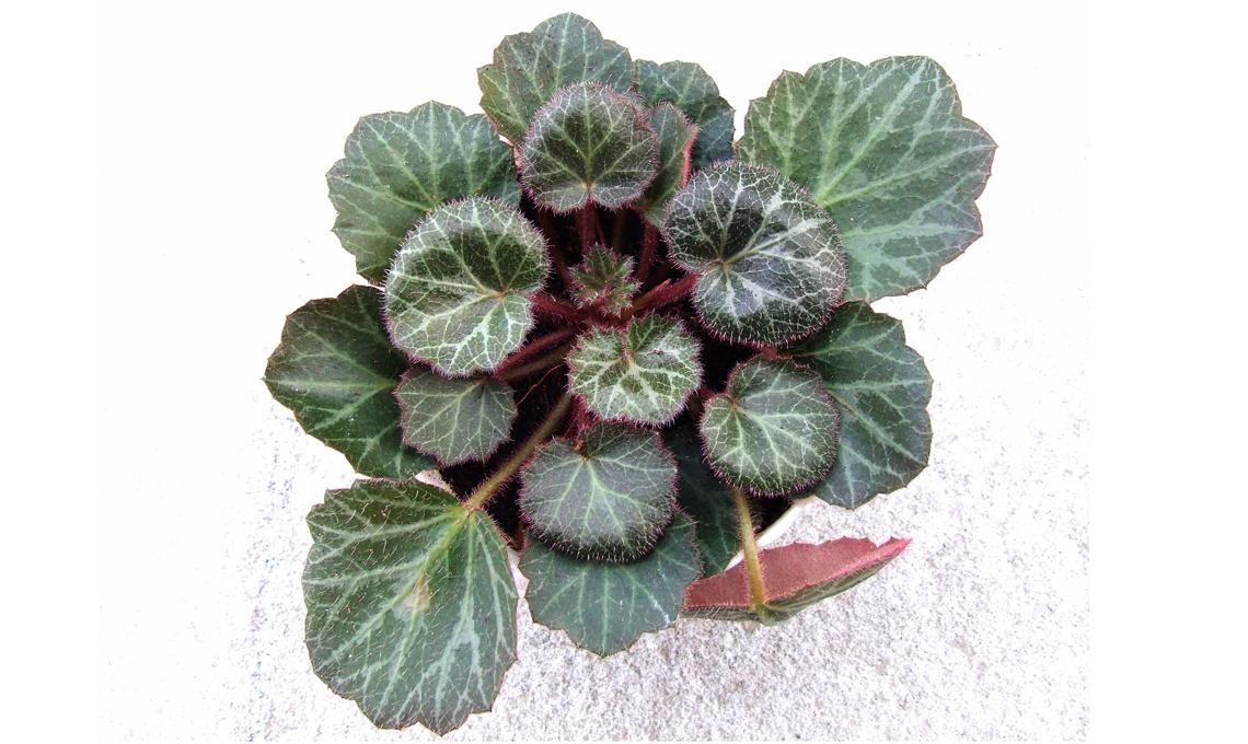 pianta di saxifraga.