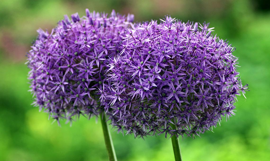 Come piantare e coltivare l 39 aglio casafacile for Aglio pianta