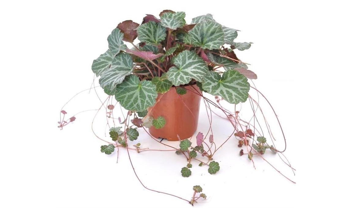 Saxifraga pianta