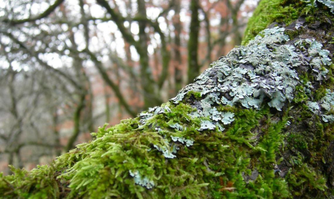 Muschi e licheni