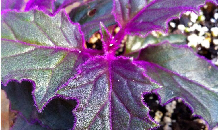 Piante dalle foglie viola: 9 tipi