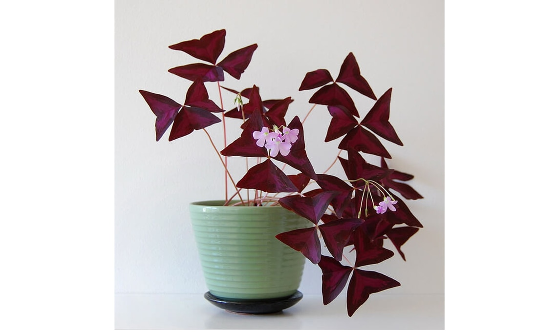 pianta Oxalis