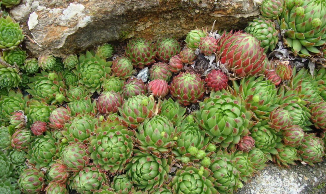Piante grasse da esterno come sceglierle e curarle for Piante grasse ornamentali