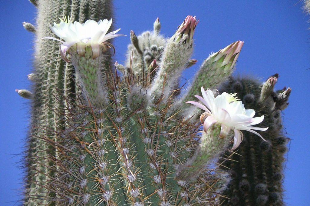 Pianta Cactus.