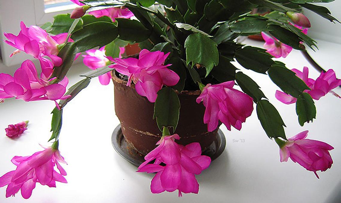 Piante Da Appartamento Con Fiore Rosa.Fiori Da Appartamento Guida Alla Scelta Casafacile