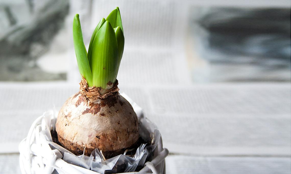 bulbi giacinto