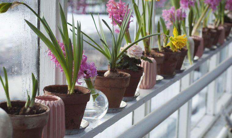 Bulbi invernali: come farli fiorire in casa