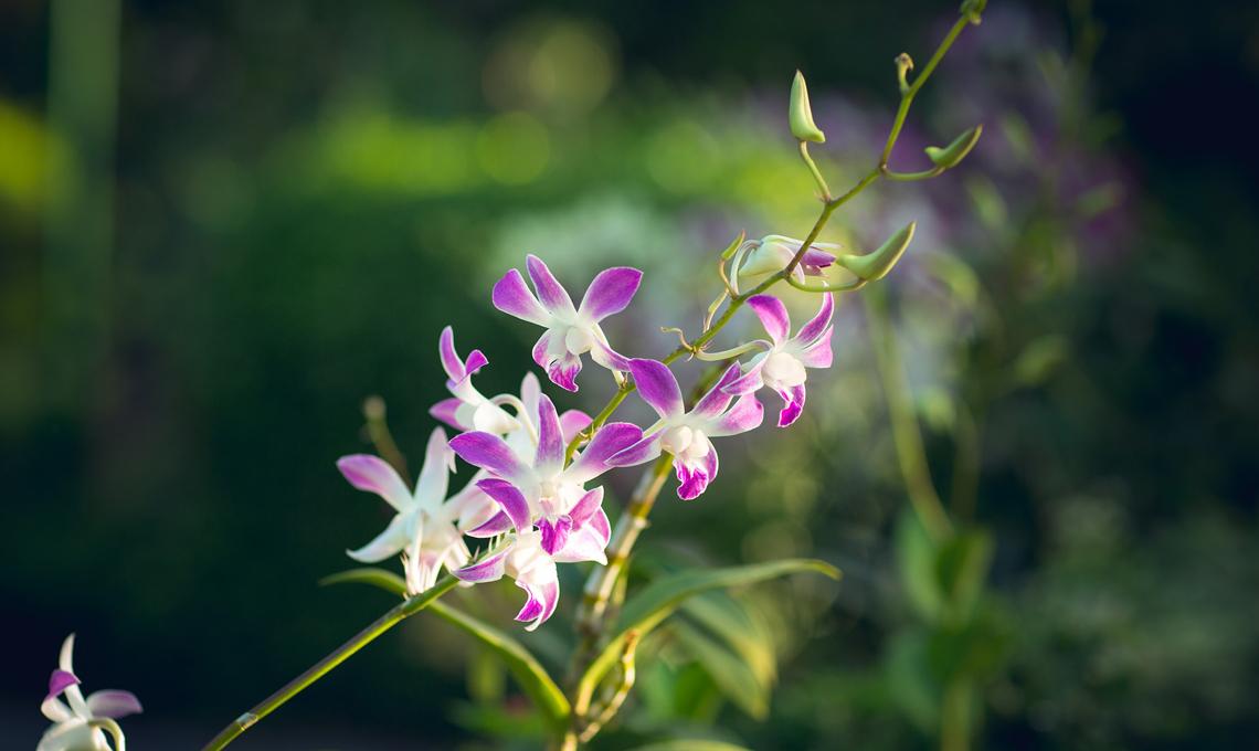 E Far Rifiorire Le Orchidee CASAfacile