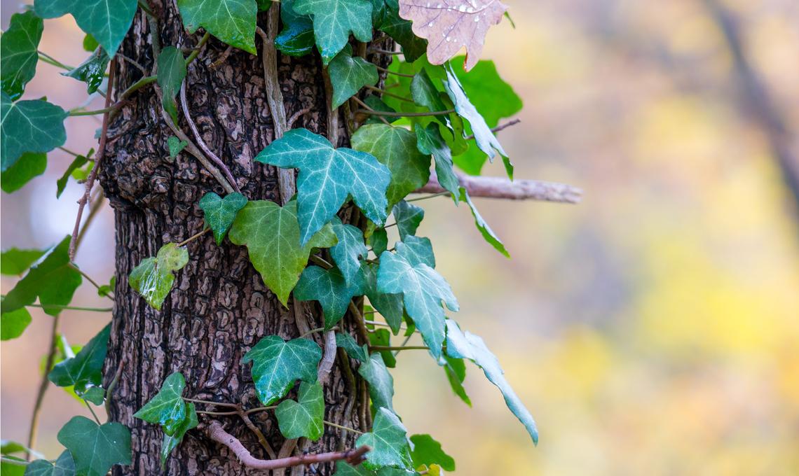 Edera piante