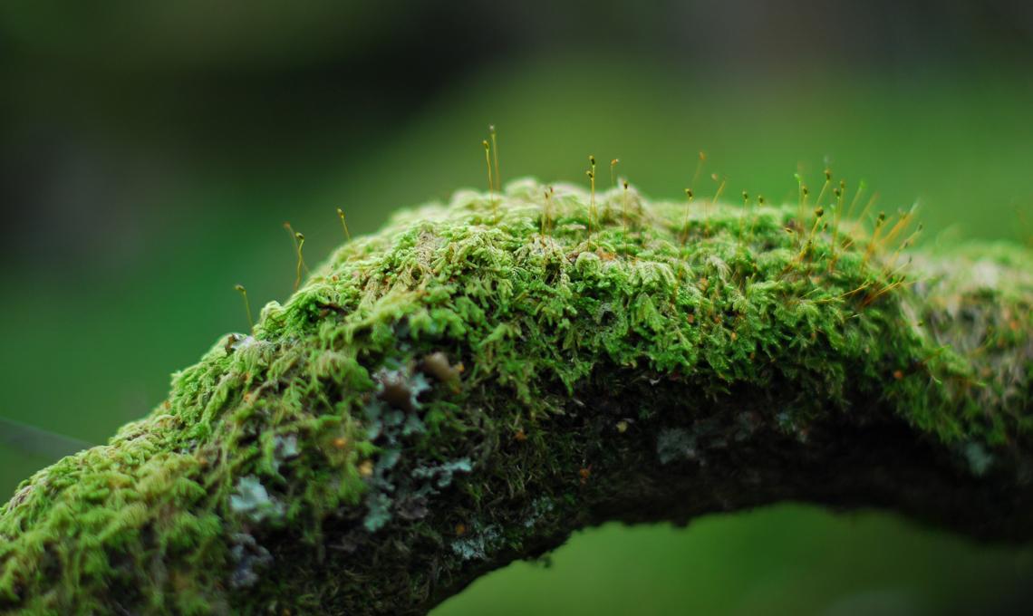 Muschio piante
