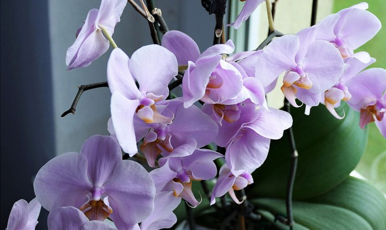 Come far rifiorire le orchidee