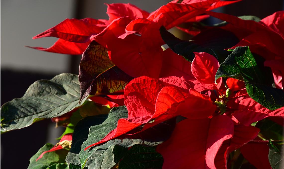 pianta Stella di Natale.