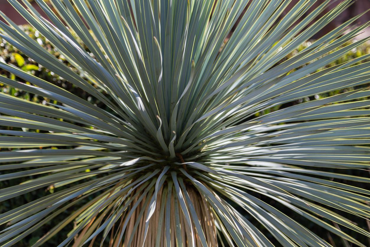 Pianta Yucca.