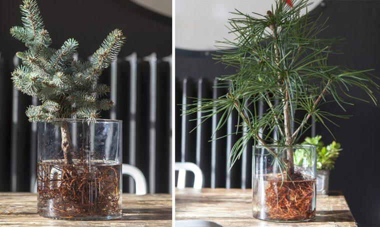 Idrocoltura: come coltivare un mini albero di Natale in vaso