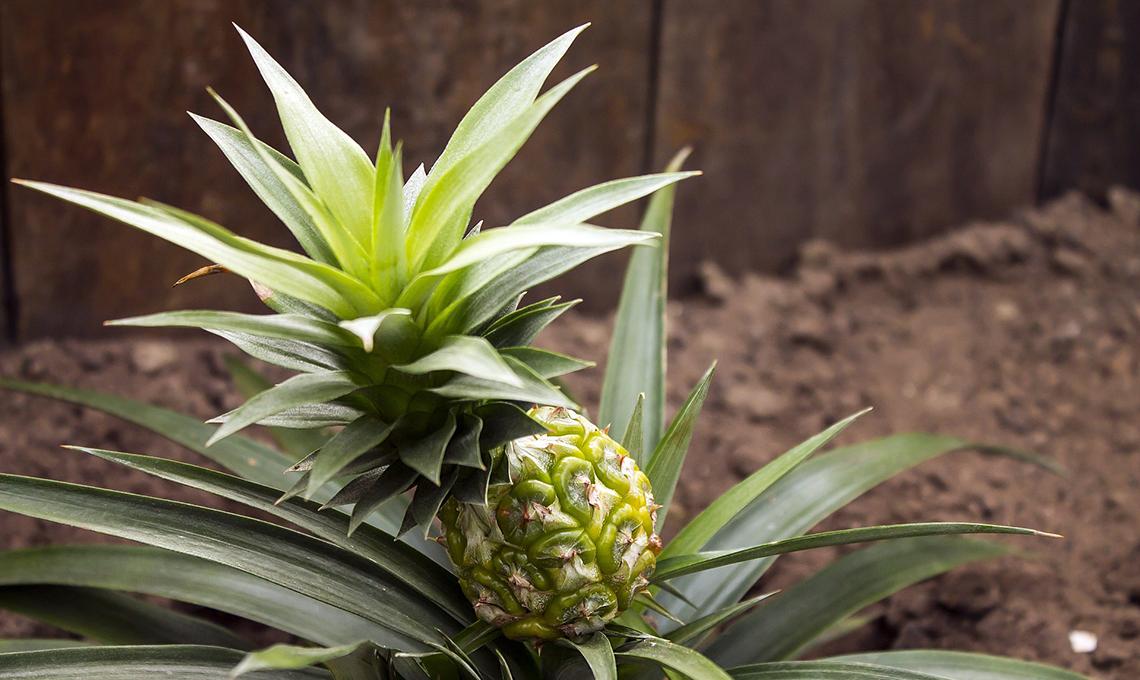 pianta di ananas