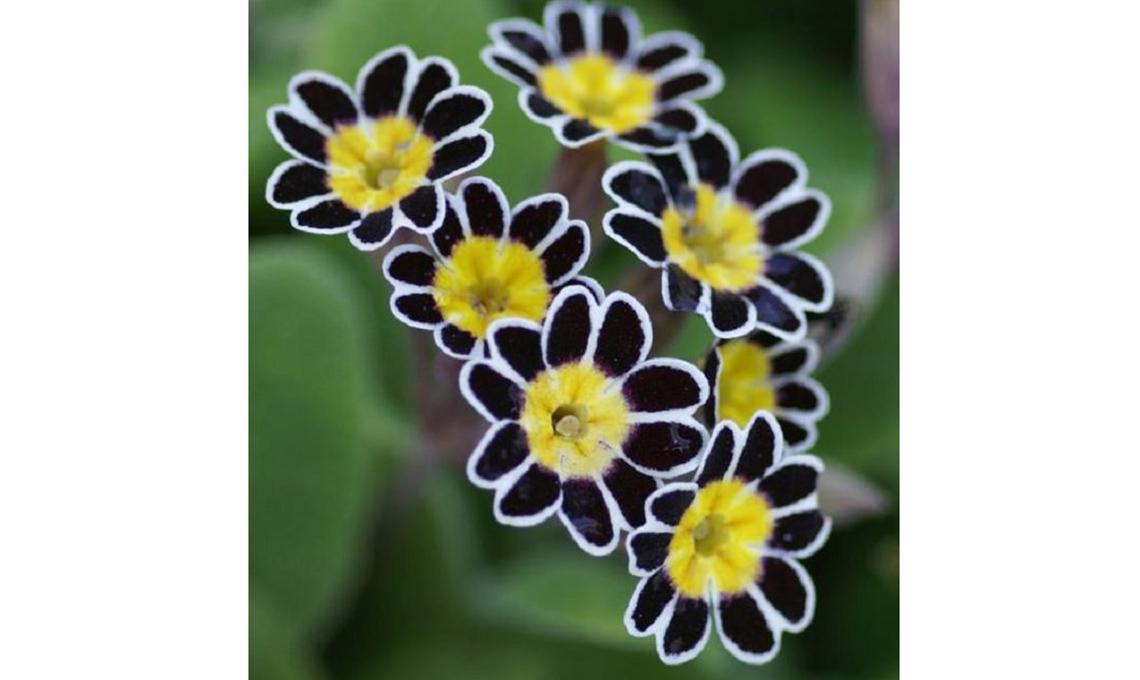 piante con foglie nere