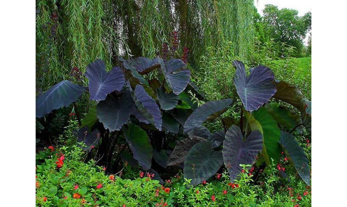 foglie nere