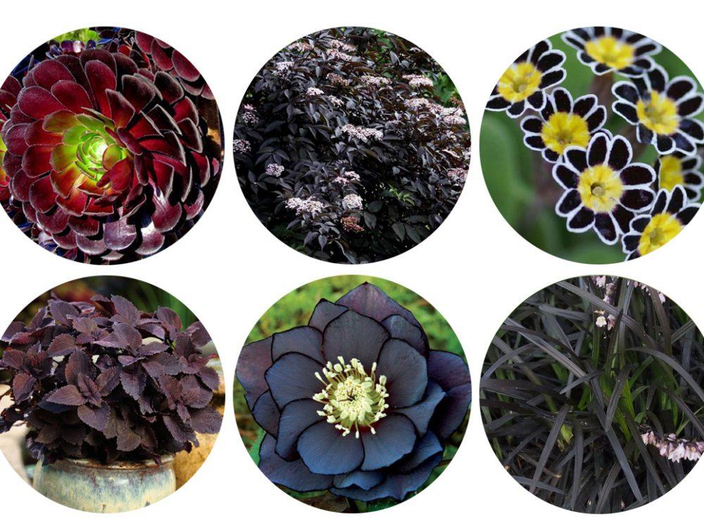 12 piante con foglie e fiori neri