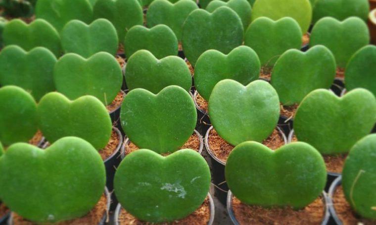 La pianta grassa a forma di cuore